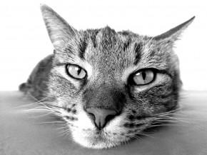 Sterilizuotas katinas